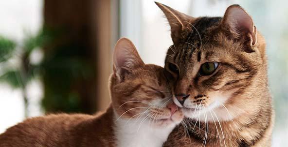Освен убийци на мишки котките са домашни любимци